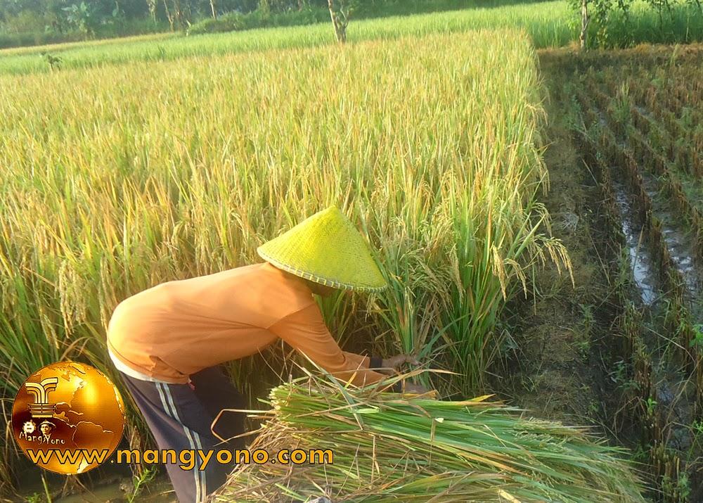 FOTO : Panen padi 4 – Nenek saya sedang memotong tanaman padi