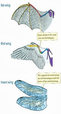 convergent evolution of wings of bats, birds, and insects
