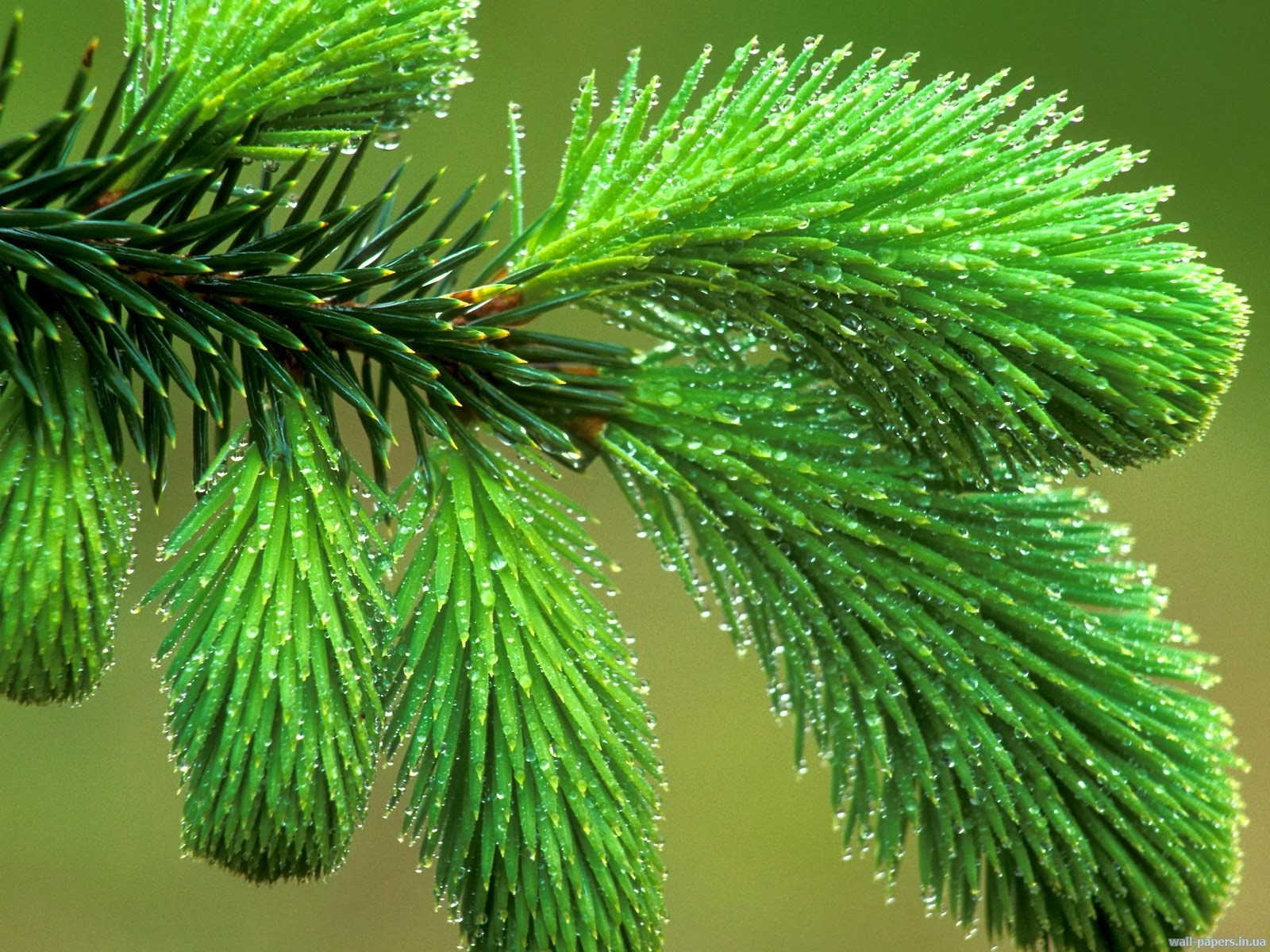 зеленый цвет еловой хвои