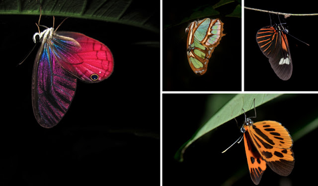 butterfly sleep amazon rainforest peru tambopata