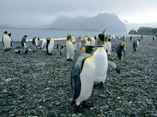 Foto Kumpulan Pinguin Lucu