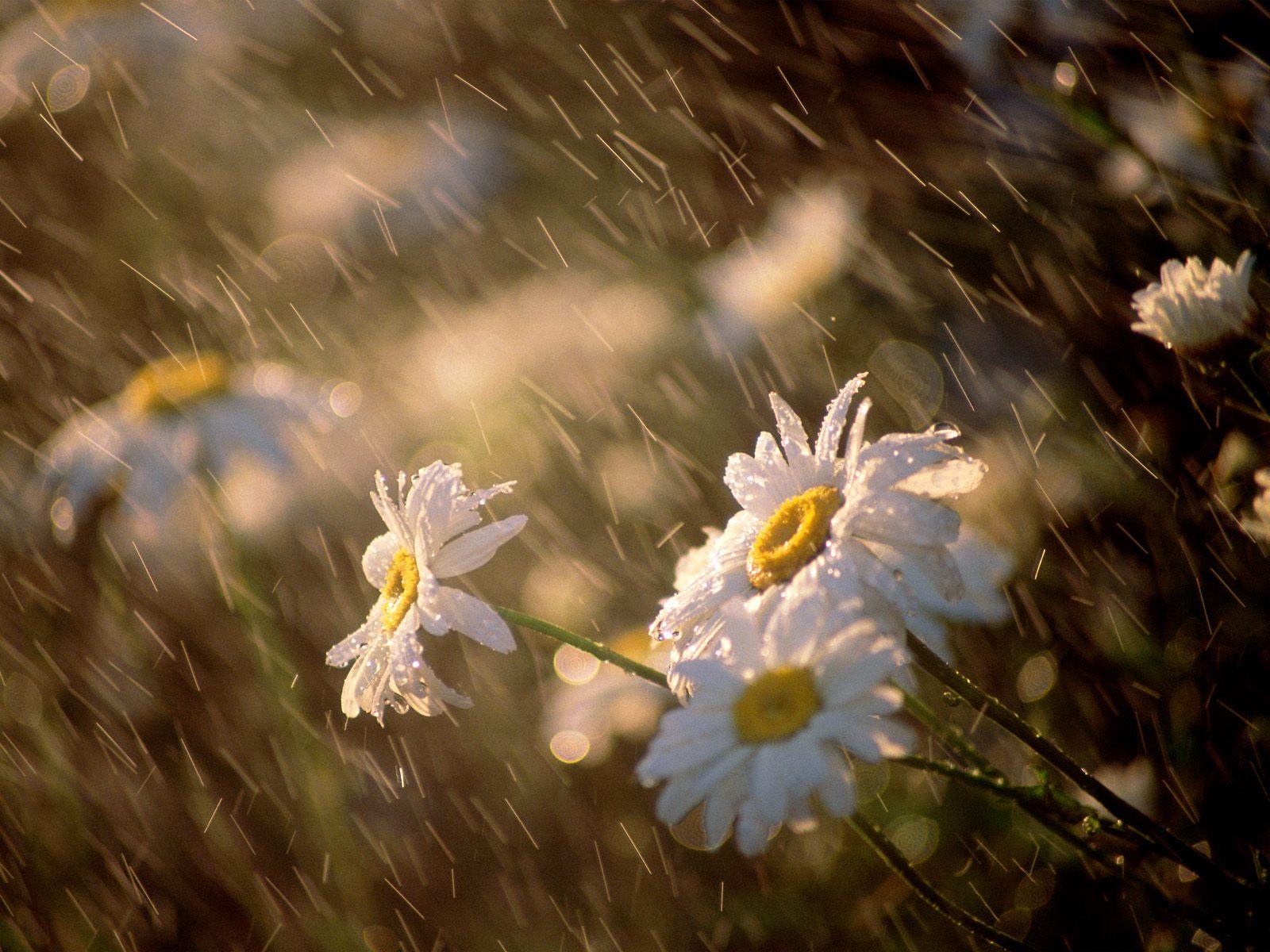 http://2.bp.blogspot.com/-PBKKItqJj1A/TVqi3bQ4pFI/AAAAAAAAA9A/rZ6KIoTsGN4/s1600/Wet_Daisies.jpg