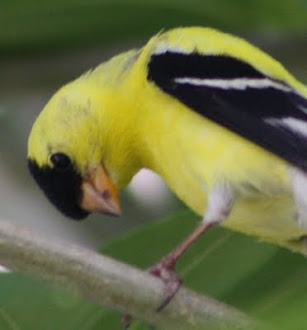 Photograph of American Goldfinch watching my granddaughter.