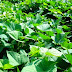 Apa hubungan daun ubi jalar dengan DBD