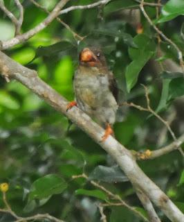 Brown Barbet (Calorhamphus fuliginosus)