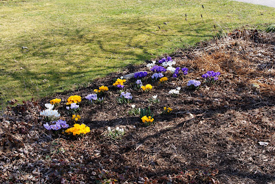 crocuses at Sugar Creek