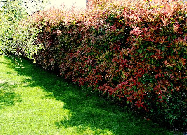 Il mondo in un giardino: Tutti pazzi per la siepe di Photinia rossa