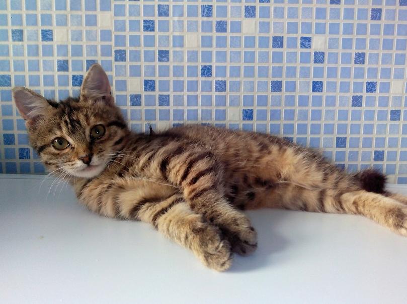 Кошка лежит на столе
