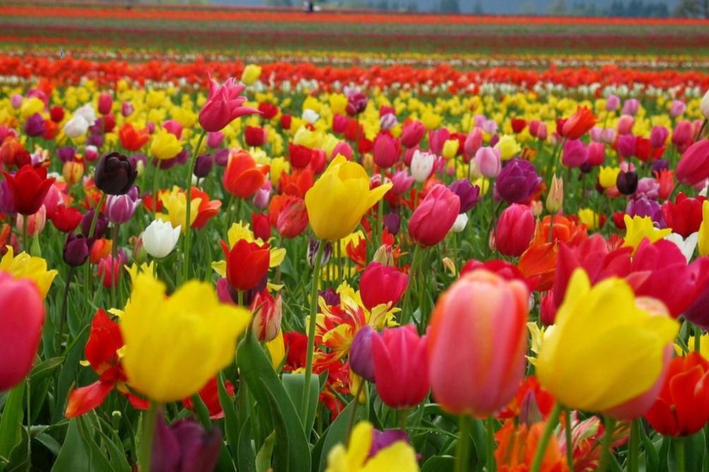 Imagini pentru amsterdam tulips