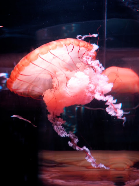 Large pink jellyfish in Ocean Park, Hong Kong