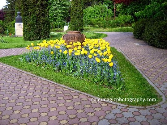 Flower bed-Forget me nots and yellow tulips