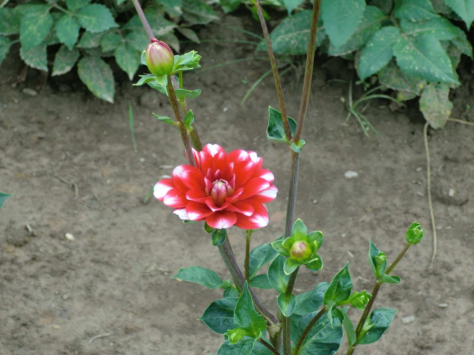 Dahlie Blumenfeld rot