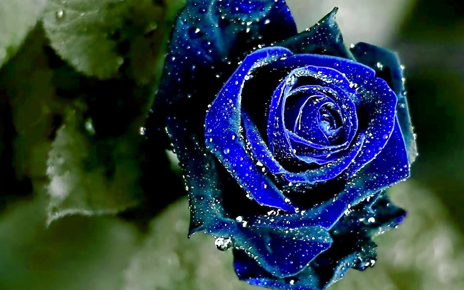 Красивые цветы синие розы
