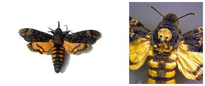 Mariposa Caveira