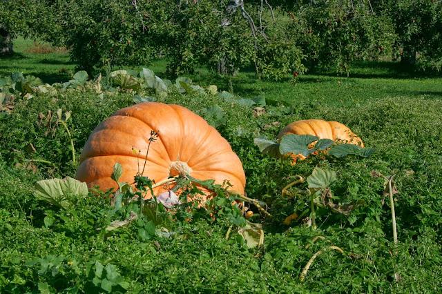 pumpkin patch, dill pumpkins