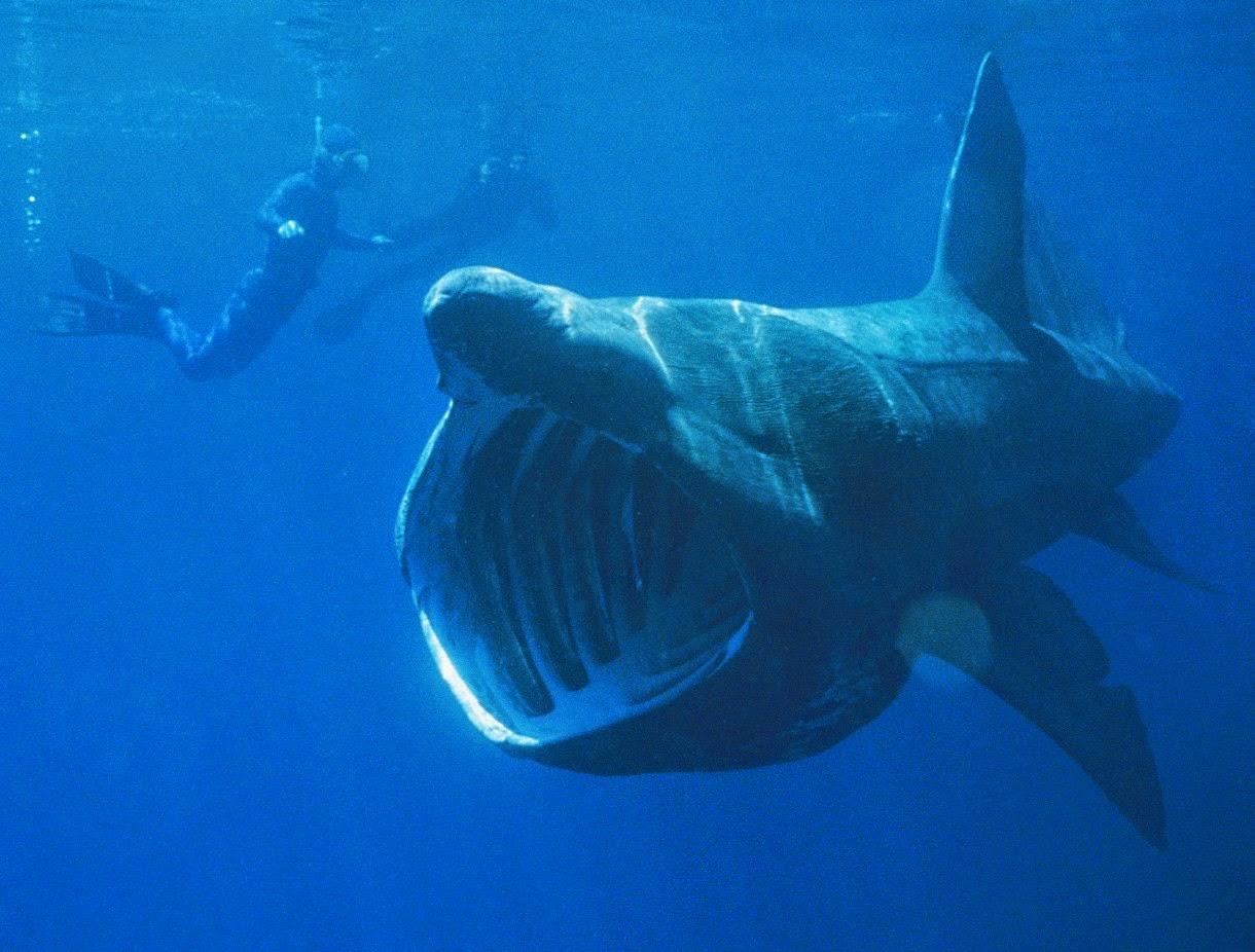 Hewan Terbesar di Dunia Basking Shark