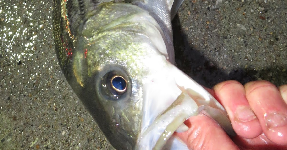 Rhode island striped bass winter holdover fishing off to for Striper fishing ri