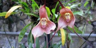 Aneh, Unik dan misteri Bunga Berbentuk Muka Monyet
