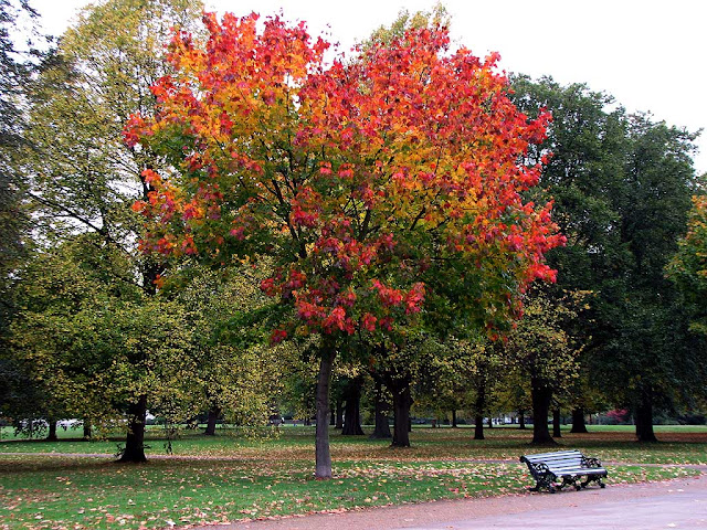 Bench under a red tree in autumn, Kensington Gardens, London
