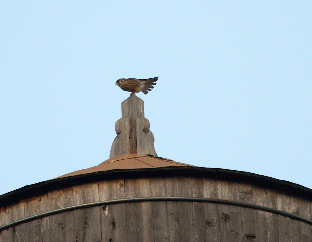 Kestrel sitting on top of a New York City water tower