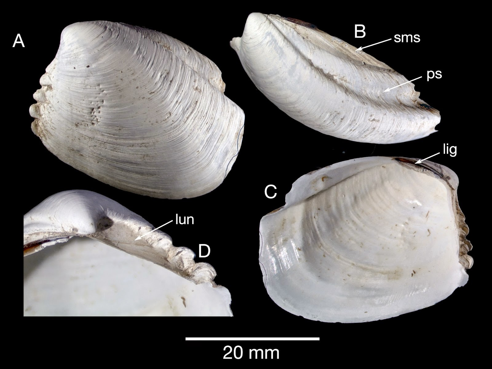 http://sciencythoughts.blogspot.co.uk/2014/10/a-new-species-of-thyasiroid-clam-from.html
