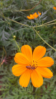 Cosmos sulphureus with Bee