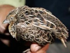 Phòng trừ chứng liệt chân ở chim cút.