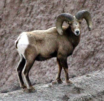 http://www.conservenature.org/learn_about_wildlife/rocky_mountains/bighorn_sheep.htm