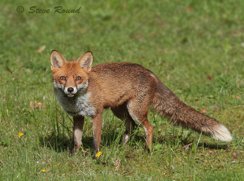 Red, Fox, mammal, animal, nature, wildlife