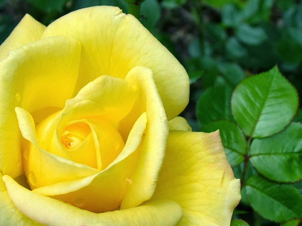 Yellow Rose Wallpaperhttpmy143rosespot
