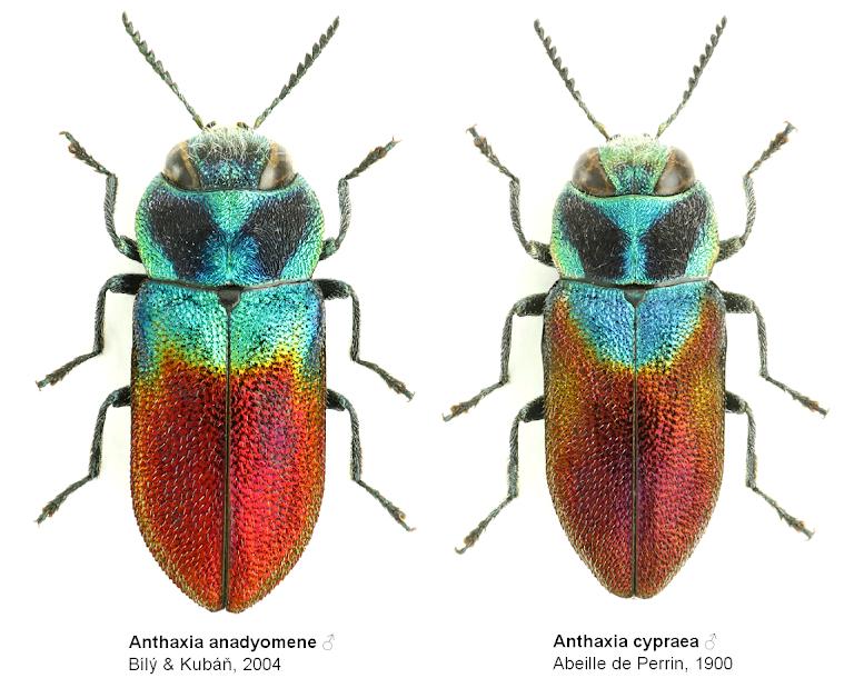 Anthaxia anadyomene vs Anthaxia cypraea
