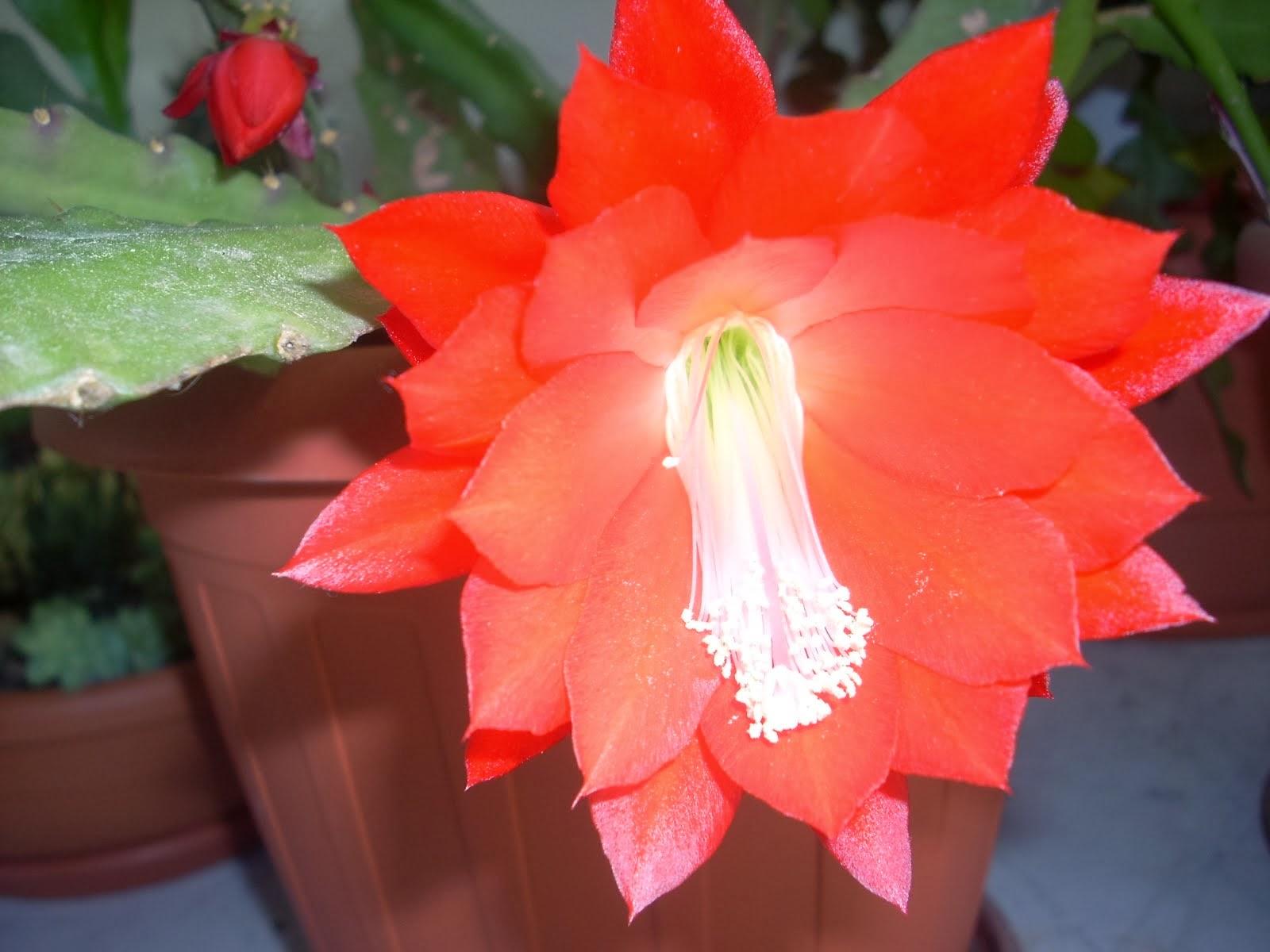 Epiphyllum rosso 2013
