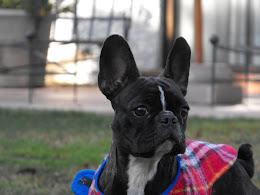 Estrella mi Boston Terrier