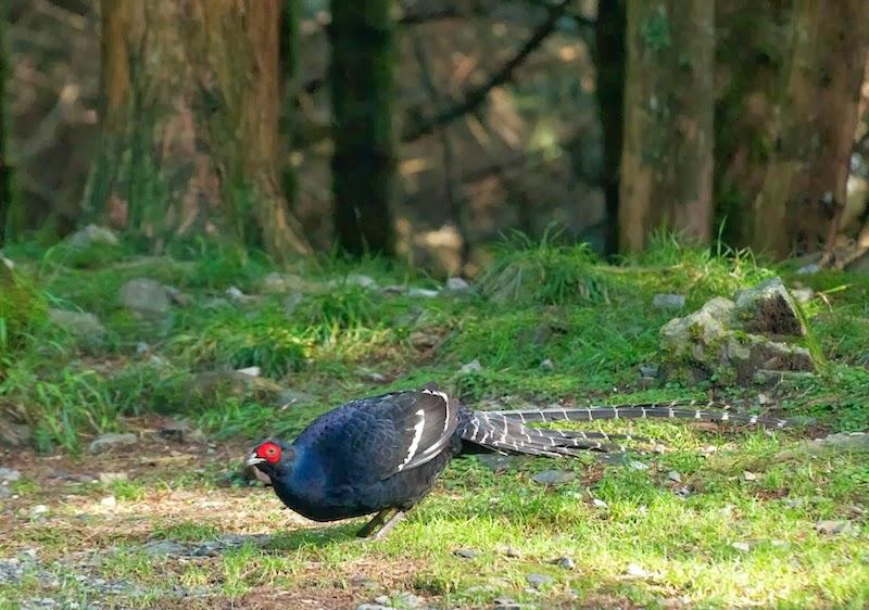 Mikado Pheasant (Syrmaticus mikado)