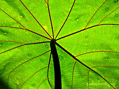 Under shot of a leaf showing networked veins under the sun