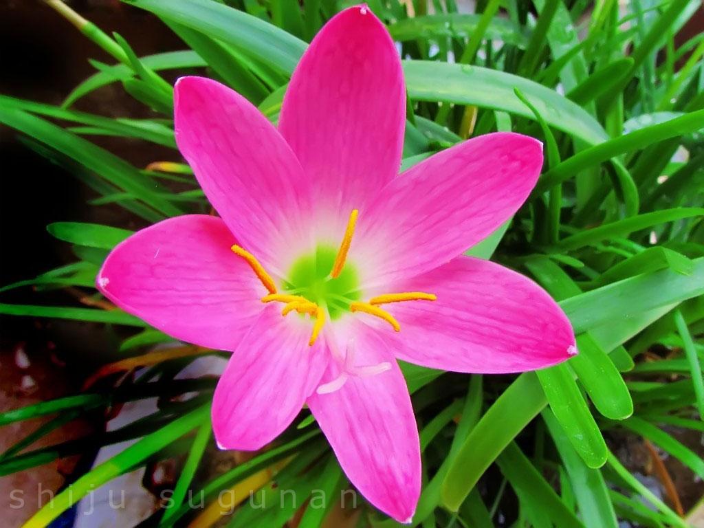 Cranium Bolts Rain Lilies Welcome The Monsoon