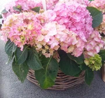 ugiftige Pflanzen- Hortensien