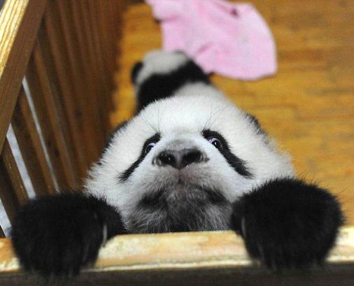 Funny panda face |Funny Animal
