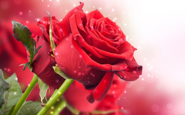 Flores Rojas imagenes hd de flores con frases