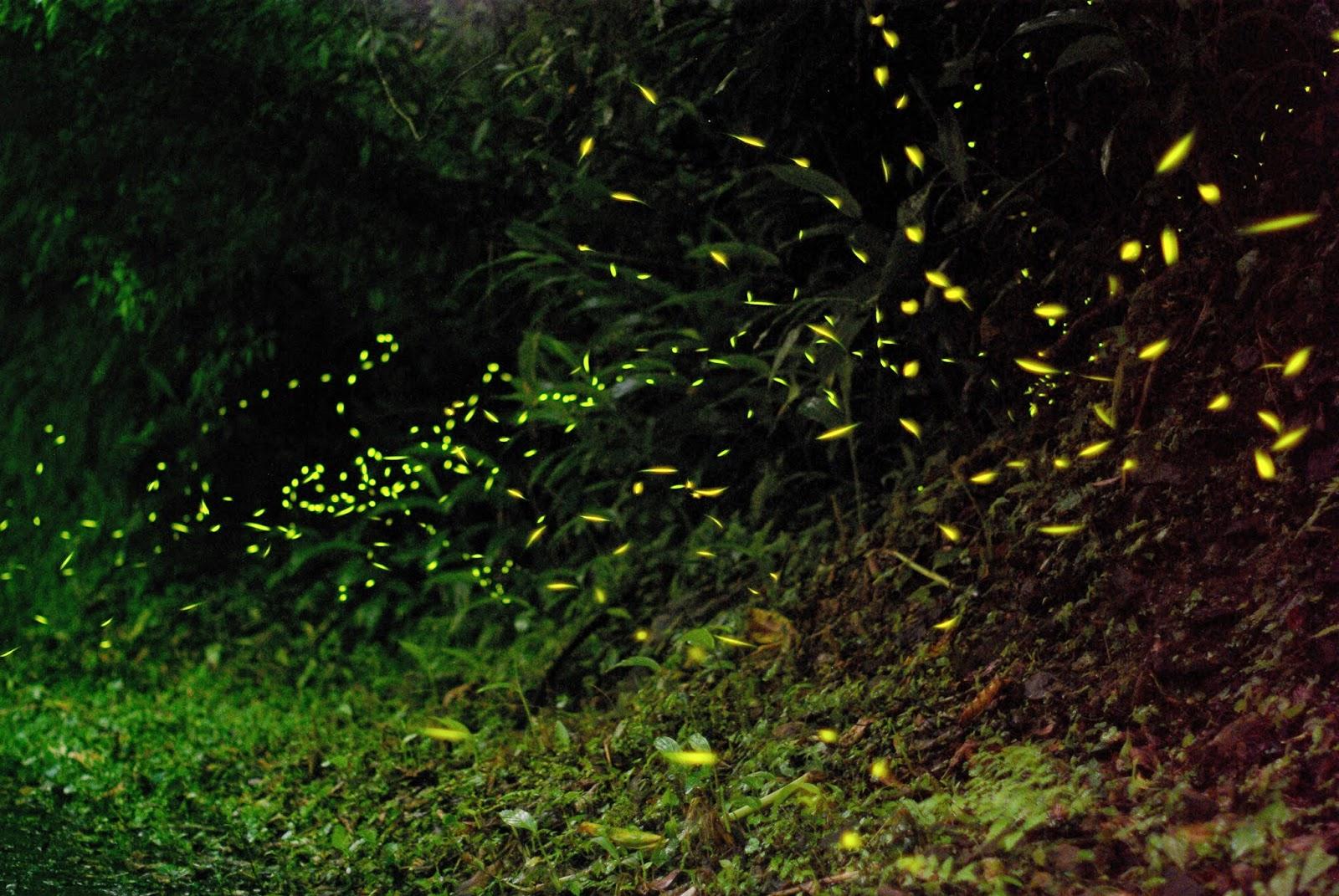 201505 雙溪螢火蟲