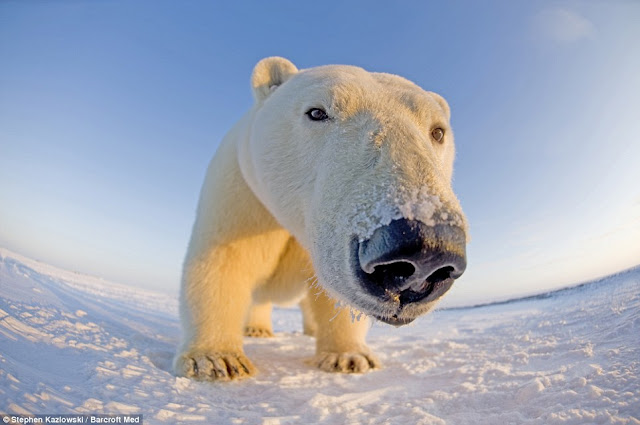 White Wolf Arctic Bears Get Up Close In Stunning Images