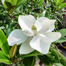 Mississippi State Flower - Magnolia