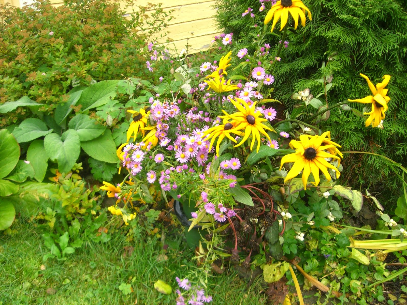 Kukkaämpäri hoitelee taittuneet Rudbeckiat ja Elsan asterit