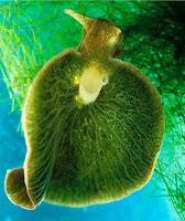Babosa de mar:Elysia chlorotica