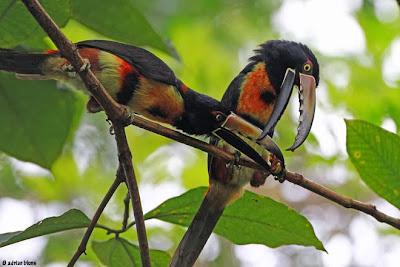 Aracari pet