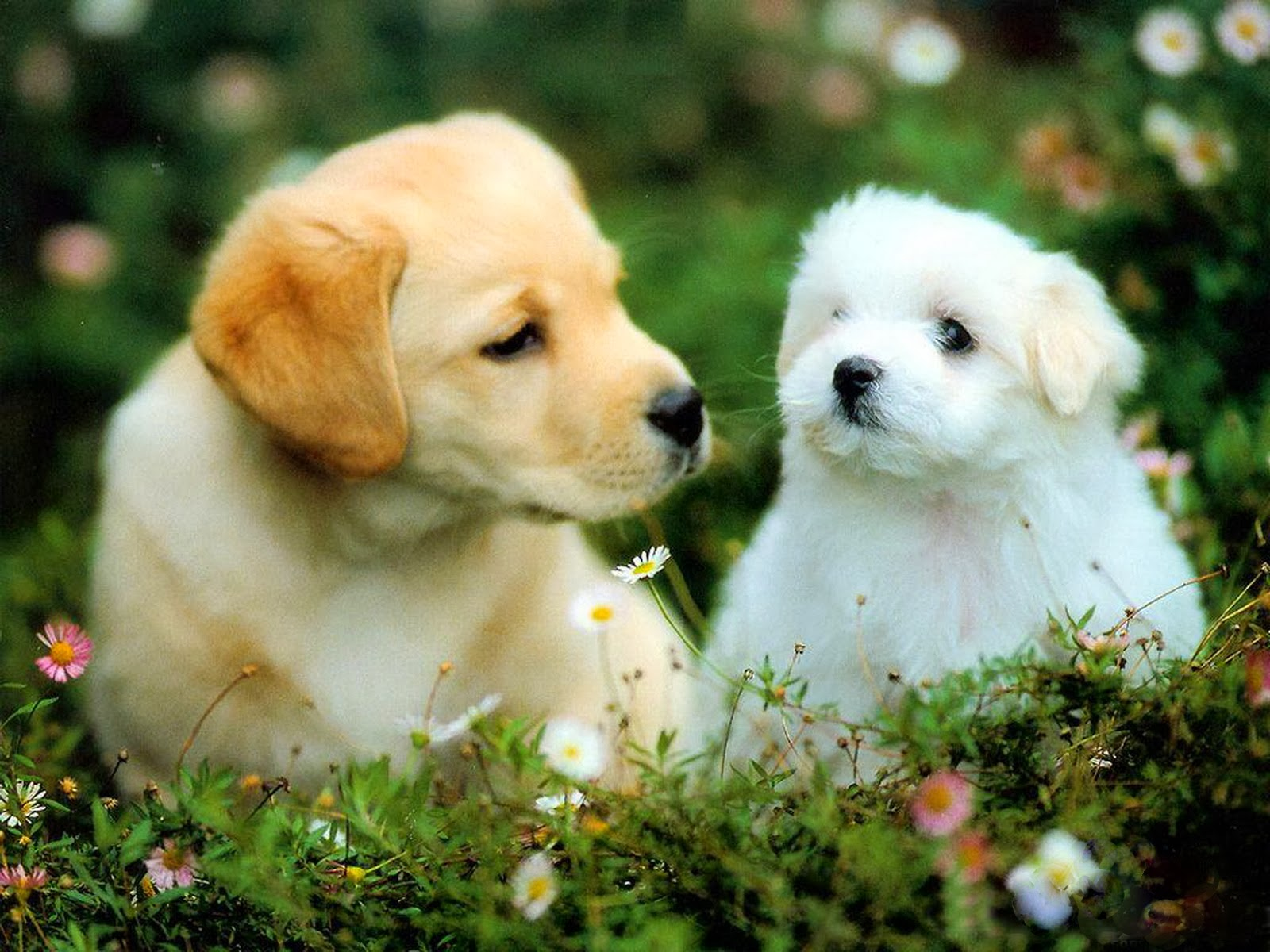 beautiful puppies dogs beautiful desktop wallpapers 2014