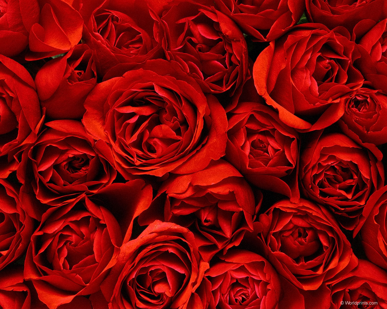 Rosas Rojas Wallpapers
