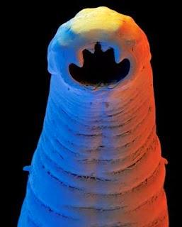 Las semillas del ajenjo de los parásitos