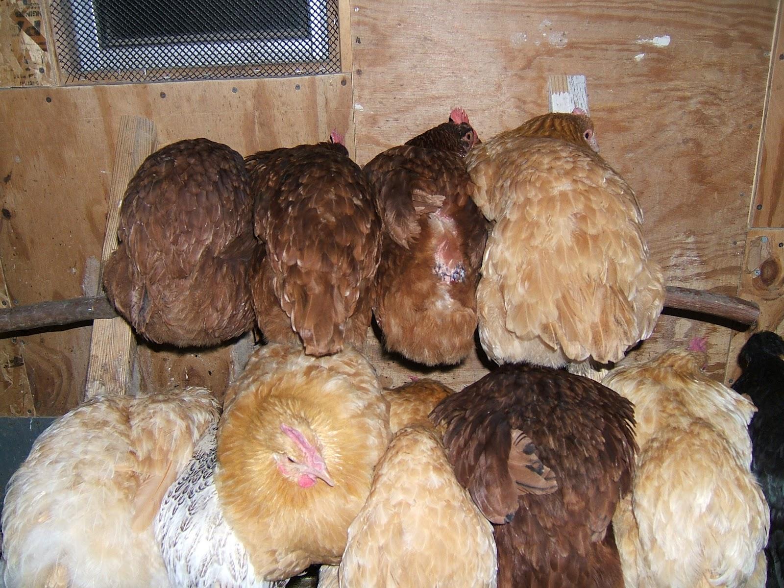 preparing for winter community chickens