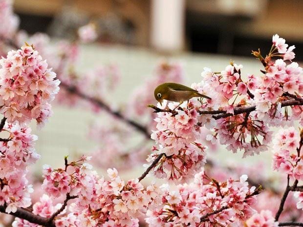Estação das cerejeiras começa oficialmente em Tóquio